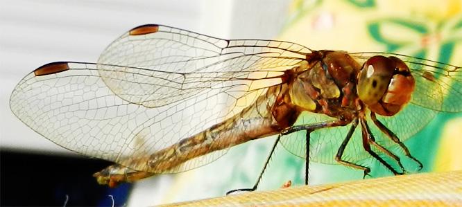Libelle auf der Sonnenbank
