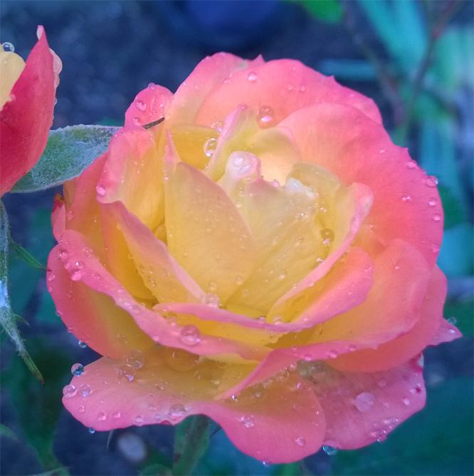 Herbstliche Rose